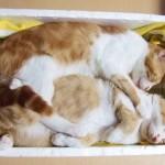 箱の中で寝るネコ
