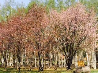 北海道の桜